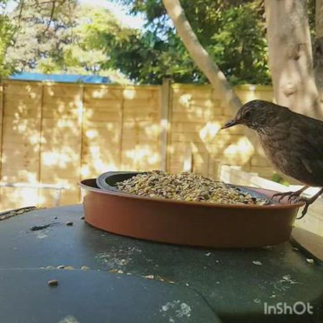 Female black bird making a right mess!!