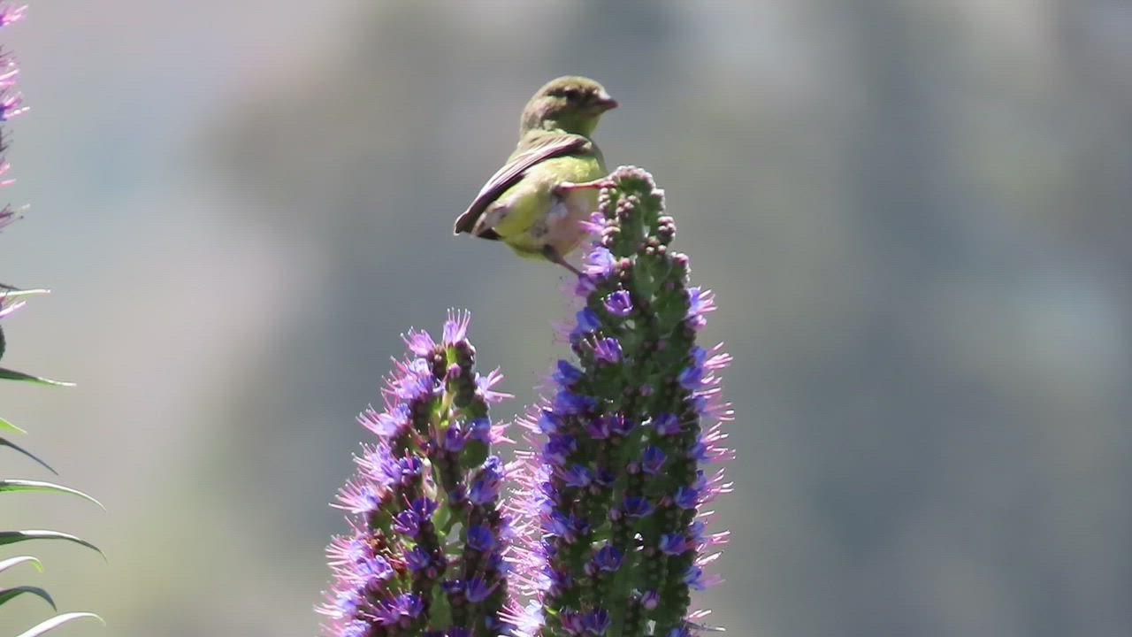 Lesser Goldfinch (Spinus psaltria), San Luis Obispo, CA