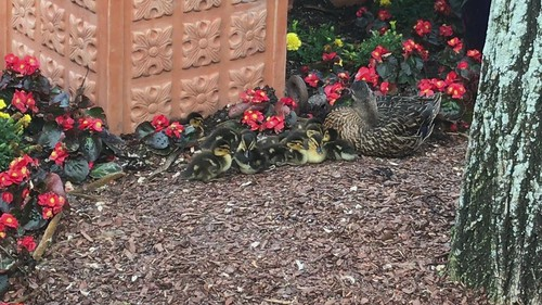 Mallard mother and ten ducklings at Disney World