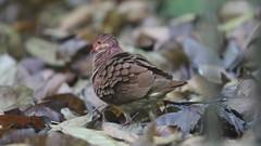 Ruddy Quail-Dove (Geotrygon montana)