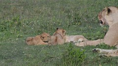 Lion cubs battling each other at Ndutu.
