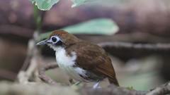Bicolored Antbird O28A6072_Trim