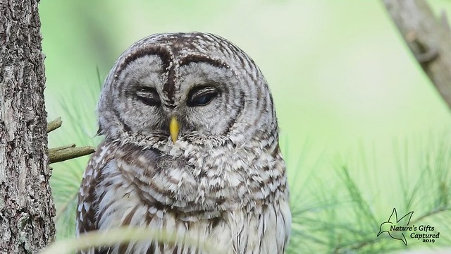 Barred Owl Video _1