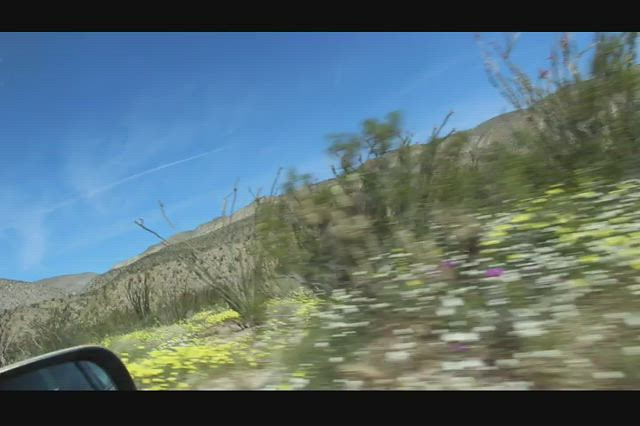 079 Vicki takes a video out the car window to give an idea of the big super bloom in Anza-Borrego