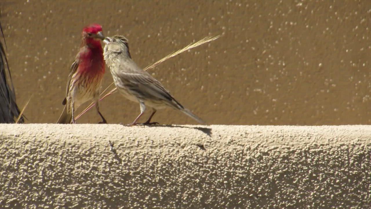 House Finch (Haemorhous mexicanus), San Luis Obispo, CA