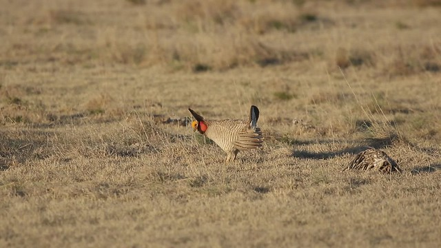 Lesser Prairie-Chickens (Tympanuchus pallidicinctus) on the lek - Kansas