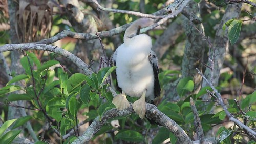 Anhinga chick figuring out mangrove branches