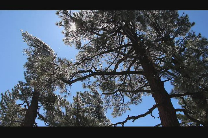 1656 Video of melting Rime Ice as it drips from above in the pine trees