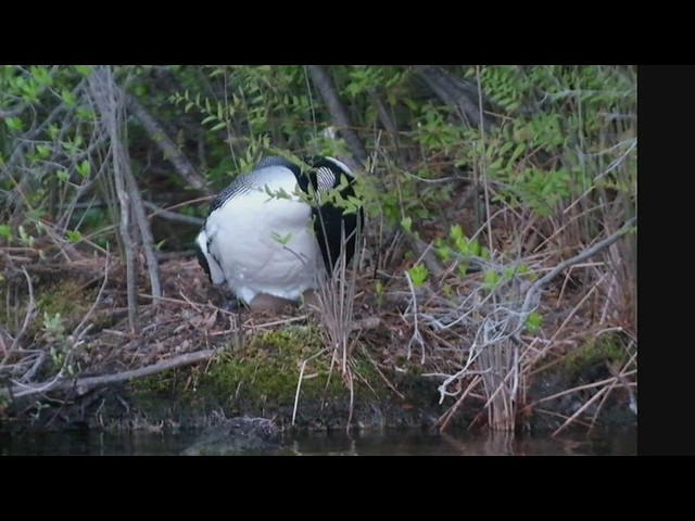 Loon nesting