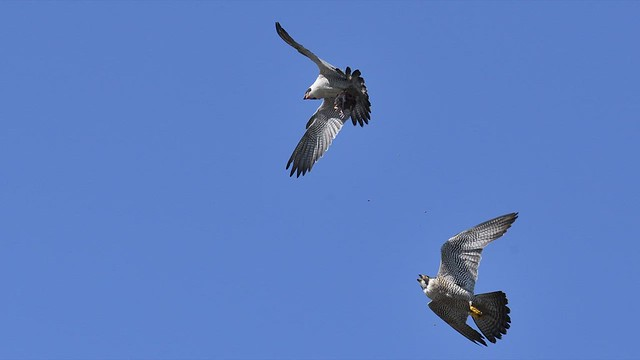 Aerial Food Exchange Between Peregrine Falcons