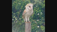 Barn Owl (wild) - short video clip -