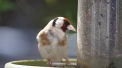 Bird Goldfinch.
