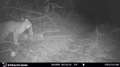 Bobcat with (live) dusky footed wood rat