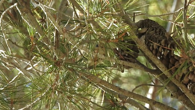 Juvenile firecrest in tree