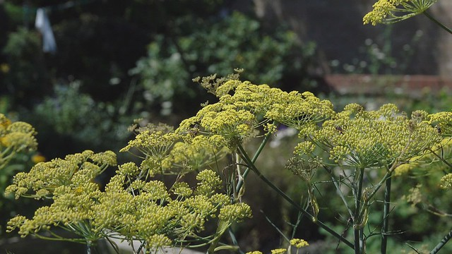 wasps on fennel