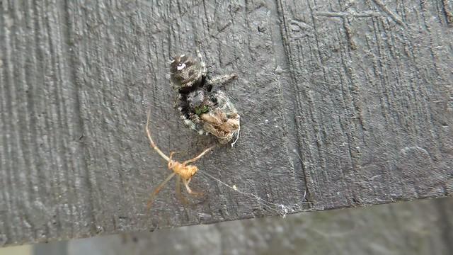 Three spiders
