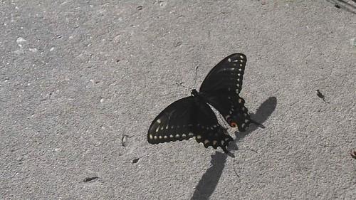 butterfly black lafayette la louisiana swallowtail papilio polyxenes
