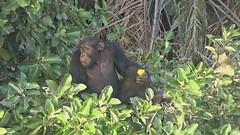 Chimp with Orange