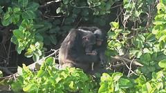 Chimps Eating