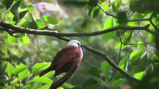 Three-wattled Bellbird Video Oiseau Cloche Costa Rica Album