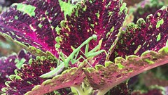 Praying mantis on coleus