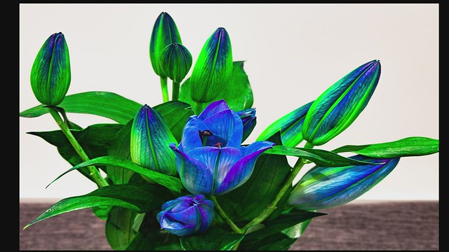 Lily - blooming flower time-lapse video.