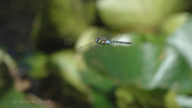 Migrant Hawker Hovering