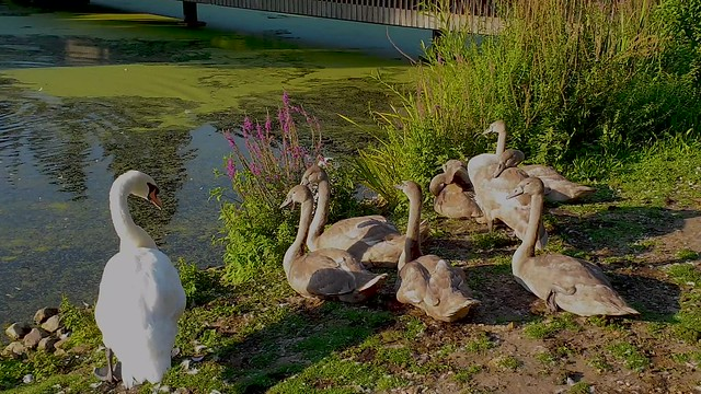 Meet The Swan Family