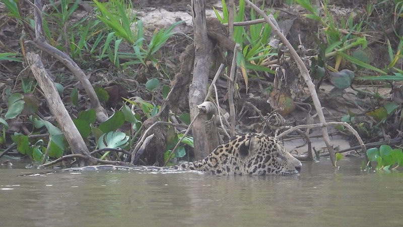 Jaguar patrolling the north bank of the river.