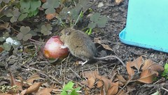 Mouse enjoying a juicy plum