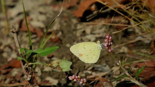 Little Yellow/ Little Sulphur_8414,15,18.mp4