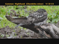 Common Nighthawk (Chordeiles minor) 14-10-2019
