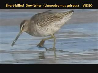 Short-billed Dowitcher (Limnodromus griseus) Dundalk 21-10-2019