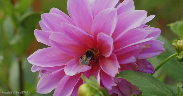 Dahlia flower with bumblebee
