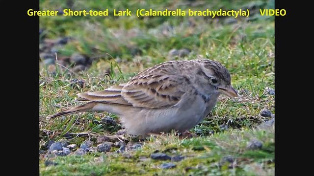 Greater Short-toed Lark (Calandrella brachydactyla) 28-10-2019 V2