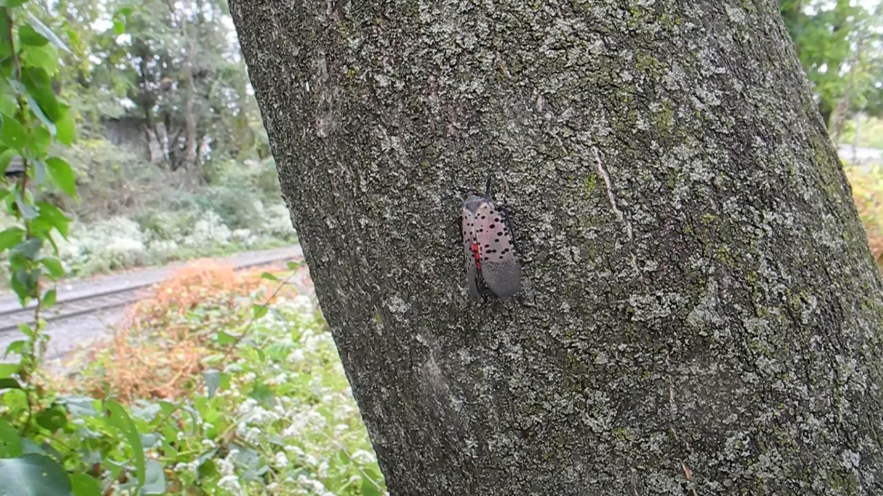 Video of Spotted Lanternfly on a Tree of Heaven trunk with a Train travelling in the background