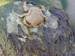 Sponge Crab Dromia personata
