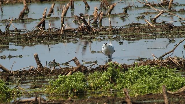 IMG_7095 avocetta (Recuvirostra avosetta)
