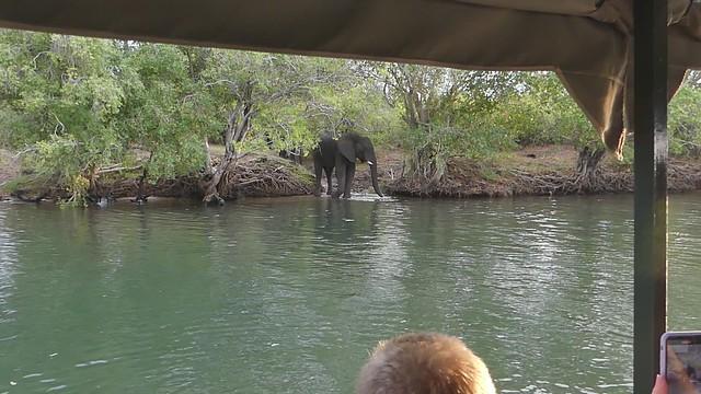 066 African Bush Elephants (Loxodonta africana), Zambezi River, near Victoria Falls, Zimbabwe