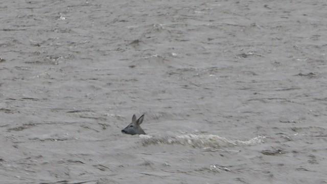 Roe Deer Crosses the River Don
