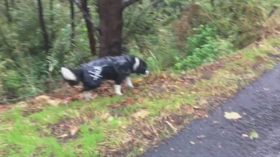 40 seconds of dogs in raincoats