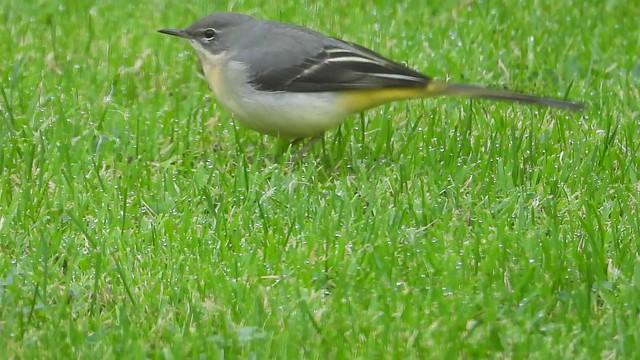 Grey Wagtail exploring the garden