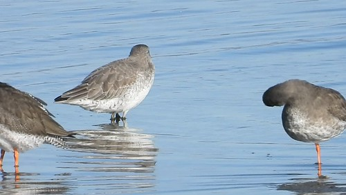 Knot and Redshank Annagassan