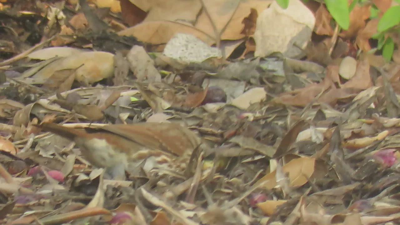 Fox Sparrow (Red) (Passerella iliaca), Cuesta College, San Luis Obispo, CA