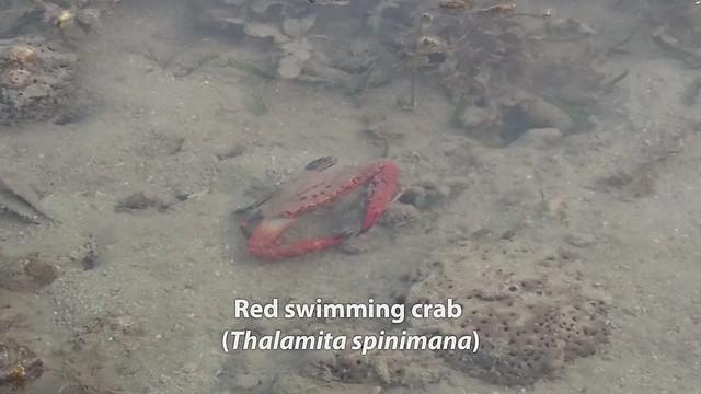 Red swimming crabs (Thalamita spinimana) eating