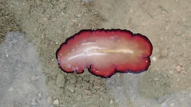 Brilliant flatworm (Pseudobiceros fulgor)