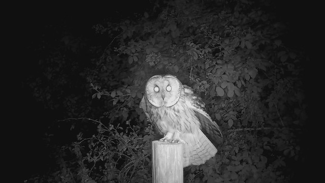 Long-eared Owl (short video)