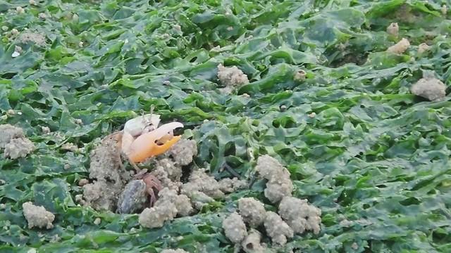 Orange fiddler crab (Gelasimus vocans)