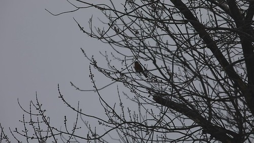 FIrst robin of spring--crappy video, but he's singing!