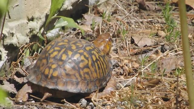Video of Ms. Turtle headed east